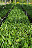 Palm seedlings in the nursery. — 图库照片