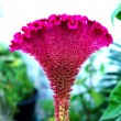 Close-ups of the Cockscomb flowers in the garden. (Celosia Argen — Stock Photo