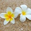 White and yellow frangipani flowers on the sand. — Стоковая фотография