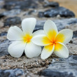 White and yellow frangipani flowers on stone. — Stock Photo #34440991
