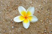 White and yellow frangipani flowers on the sand. — Stock Photo