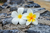 White and yellow frangipani flowers on the stone. — Stock Photo