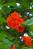 Cordia, Geiger tree. (Cordia sebestena L.) — Stock Photo