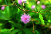 Close up of Sensitive plant (Mimosa pudica) — Stock Photo