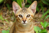 Bengal cat in light brown and cream — Stock Photo
