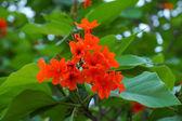 Cordia, Geiger tree. (Cordia sebestena L.) — Stock Photo