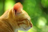 Gato bengal em marrom claro e creme — Fotografia Stock