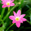 Beautiful rain lily flower. Zephyranthes Lily ,Fairy Lily, Littl — Stock Photo #34917035