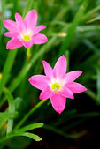 Beautiful rain lily flower. Zephyranthes Lily ,Fairy Lily, Littl — Stock Photo