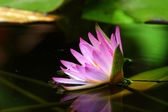 Pink water lily and reflection in a pond. — Stock Photo