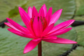 Pink lotus blossoms or water lily flowers blooming on pond — Stock Photo
