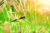 Dragonfly 'Neurothemis tullia male' — Stock Photo
