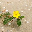 Yellow flowers on beach. (Tribulus terrestris Linn.) — Stock Photo #34961057