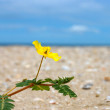 Yellow flowers on the beach. (Tribulus terrestris Linn.) — Stock Photo
