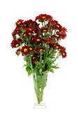 Red chrysanthemum (Dendranthemum grandifflora.) — Stock Photo