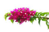 Bougainvillea bloom — Stock Photo