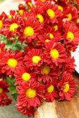Red chrysanthemum flower (Dendranthemum grandifflora.) — Stock Photo