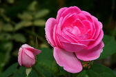Pink roses for extraction of essential oils. (Rosa damascena) — ストック写真
