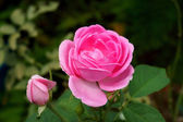 Pink roses for extraction of essential oils. (Rosa damascena) — Foto Stock
