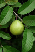 Guava fruit (Psidium guajava L) on tree. — Stock Photo
