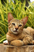 Bengal cat in light brown and cream on the timber — Stock Photo