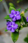 Violet flower of Brunfelsia Australis. — Foto de Stock