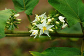 Flower of egg plants (Turkey berry : Solanum torvum) — Stock Photo
