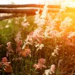 Flower grass impact sunlight. — Stock Photo #35082227