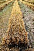 рисовых полях после сбора урожая. — Стоковое фото