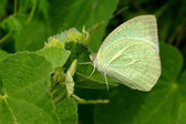 Butterfly mating — Stock Photo