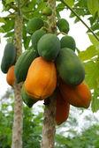 Ripe and raw papaya on the tree. — Stock Photo
