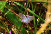 Pale Grass Blue (Pseudozizeeria maha) — Stock Photo