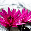 Water lily blooming in the morning. — Stock Photo