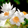 Blooming white lotus flower in the morning — Stock Photo #35567085