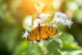 Orange butterfly name Tawny Coster (Acraea violae) — Stock Photo