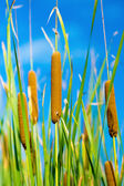 Red bulrush amongst green sheet — Stock Photo