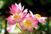 Blooming lotus flower in the morning. — Stock Photo