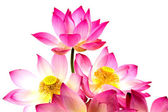 Blooming lotus flower on isolate white background. — Stock Photo
