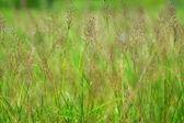 Gold beard grass. Chrysopogon aciculatus (Retz.) Trin. — Stock Photo