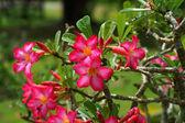 Adenium tropical flor-de-rosa. rosa do deserto. — Foto Stock