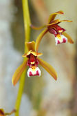 Beautiful orchid flower of Cymbidium finlaysonianum. — Stock Photo