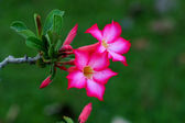Tropical flower Pink Adenium. Desert rose. — Stockfoto