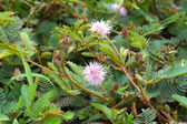 Sensitive plant ( mimosa pudica ) — 图库照片