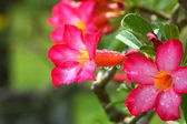 Tropical flower Pink Adenium. Desert rose. — Stock Photo