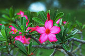 Tropical flower Pink Adenium. Desert rose. — Stock fotografie