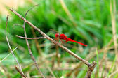 A red dragonfly. — Stock Photo