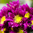 Yellow and violet blossom Chrysanthemum flower (Dendranthemum gr — Stock Photo