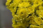 Yellow blossom Chrysanthemum (Dendranthemum grandifflora) — Stock Photo