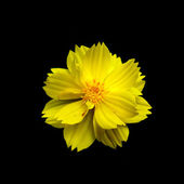 Yellow cosmos flower isolated on black — Stock Photo