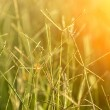 Flower grass impact sunlight. — Stock fotografie #35693207